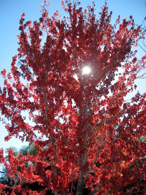 Old Man Ballard's Red Flame Maple