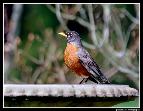 Robin on Birdbath