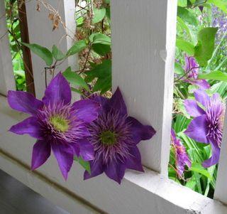 Clematis through Porch